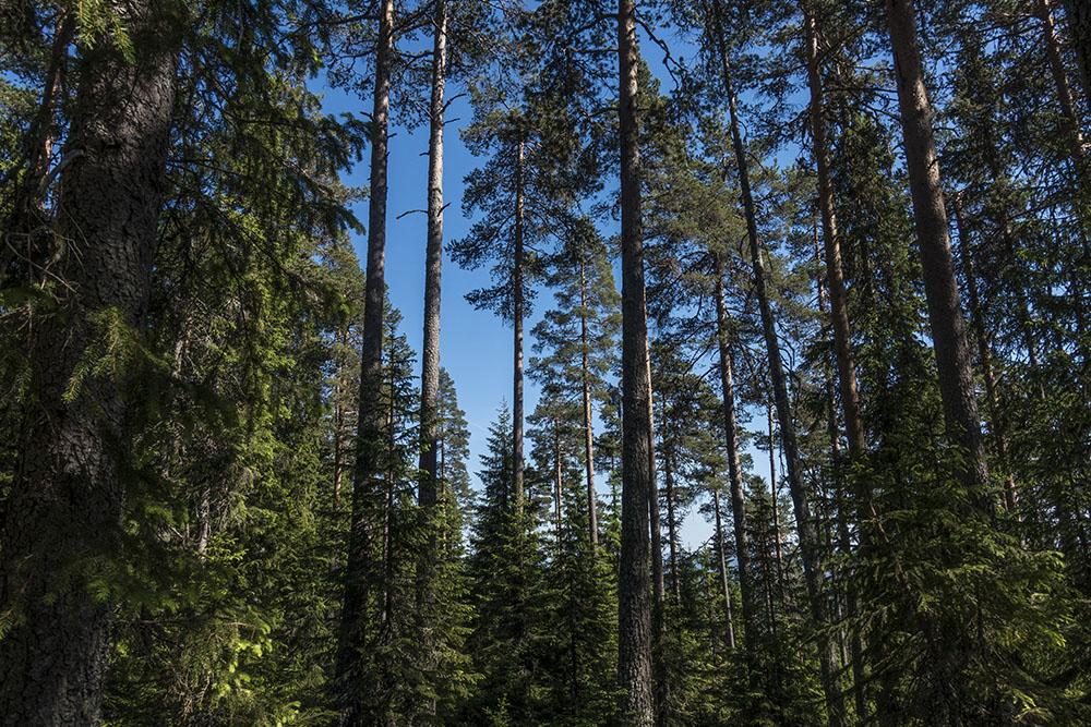 Blandskog av olika åkder. Tall och gran mest.